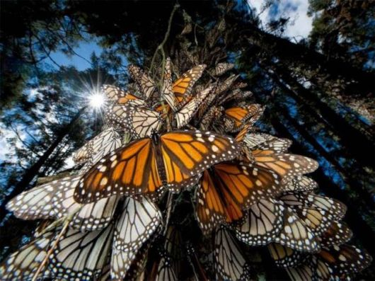 Amazing Monarch Butterfly Migration