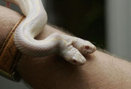 Weird Albino Snake With Two Heads