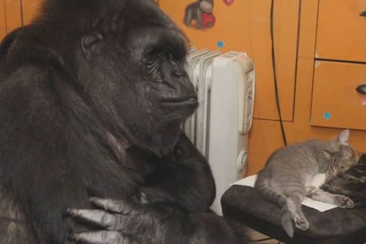 Adorable Koko The Gorilla Adopted Two Kittens