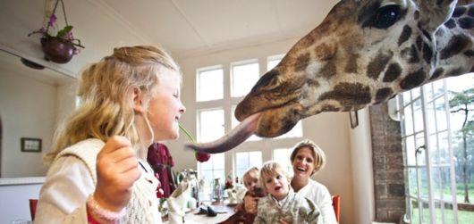 Living With Giraffes At Nairobi's Giraffe Manor