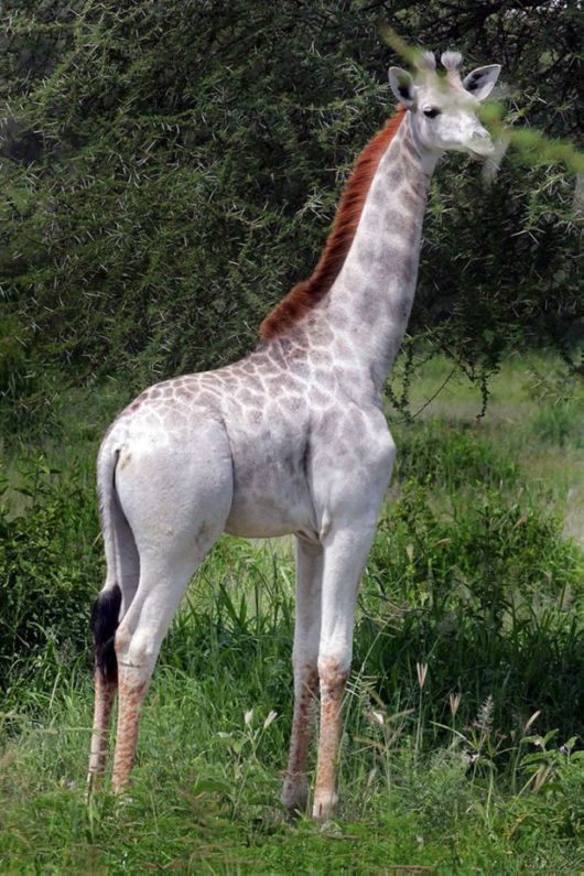The Rarest Beautiful White Giraffe